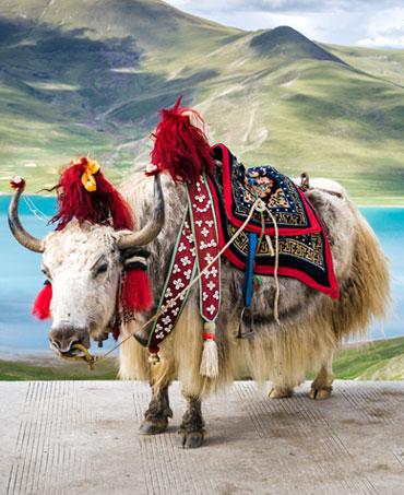 La faune du Tibet